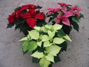 Gartenbau Gernert Poinsettien